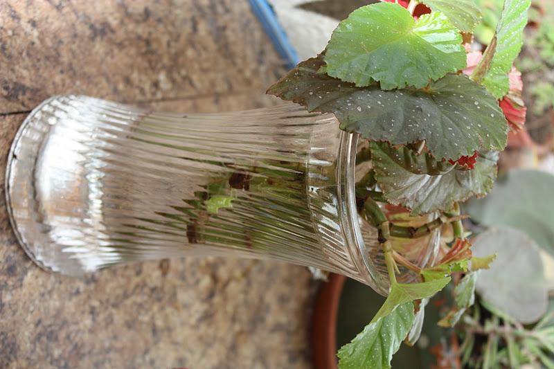 superb propagating begonias Part - 3: superb propagating begonias good ideas