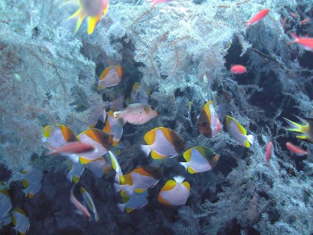 "<a href=""http://mataram.info/things-to-do-in-bali/visitindonesia-banda-marine-life-the-paradise-of-diving-topographic-point-inward-fundamental-maluku/"">Indonesia</a>best destinations : Photostory: Diving Inwards Banda Naira, Karnopol"