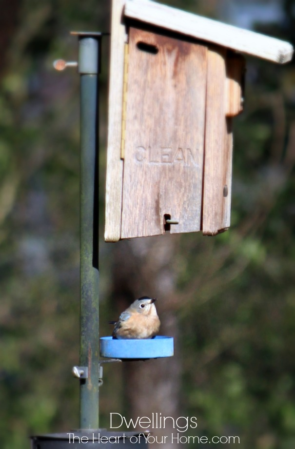 bluebird eating