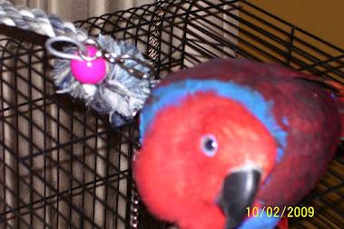 Sheba, our Solomon Island Eclectus Parrot