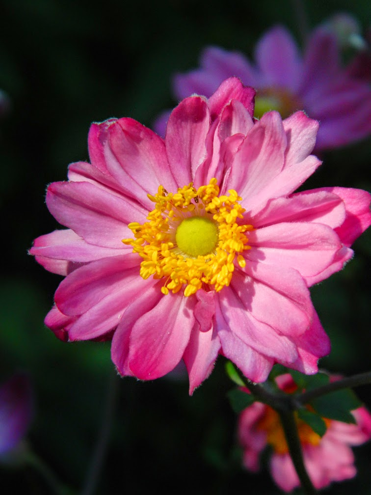 Pamina Japanese Anemone hupehensis japonica by garden muses-not another Toronto gardening blog