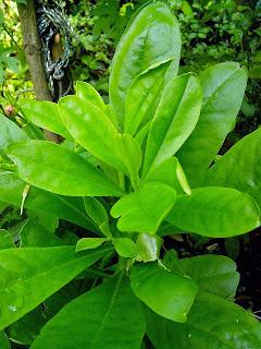 tanaman obat som jawa, khasiat som jawa, herbal som jawa, klasifikasi som jawa, tumbuhan som jawa, obat tradisional som jawa