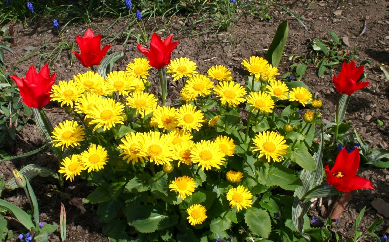 Многолетние цветы дороникум фото