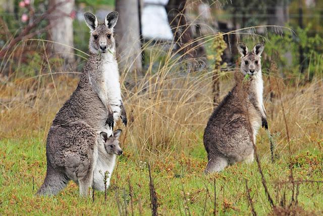 Kangaroo_and_joey04.jpg