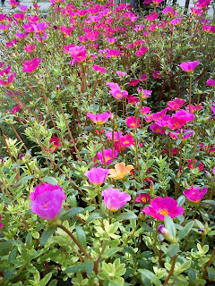 Jual pohon bunga sutera bombai | supplier tanaman hias | tukang taman dan tanaman