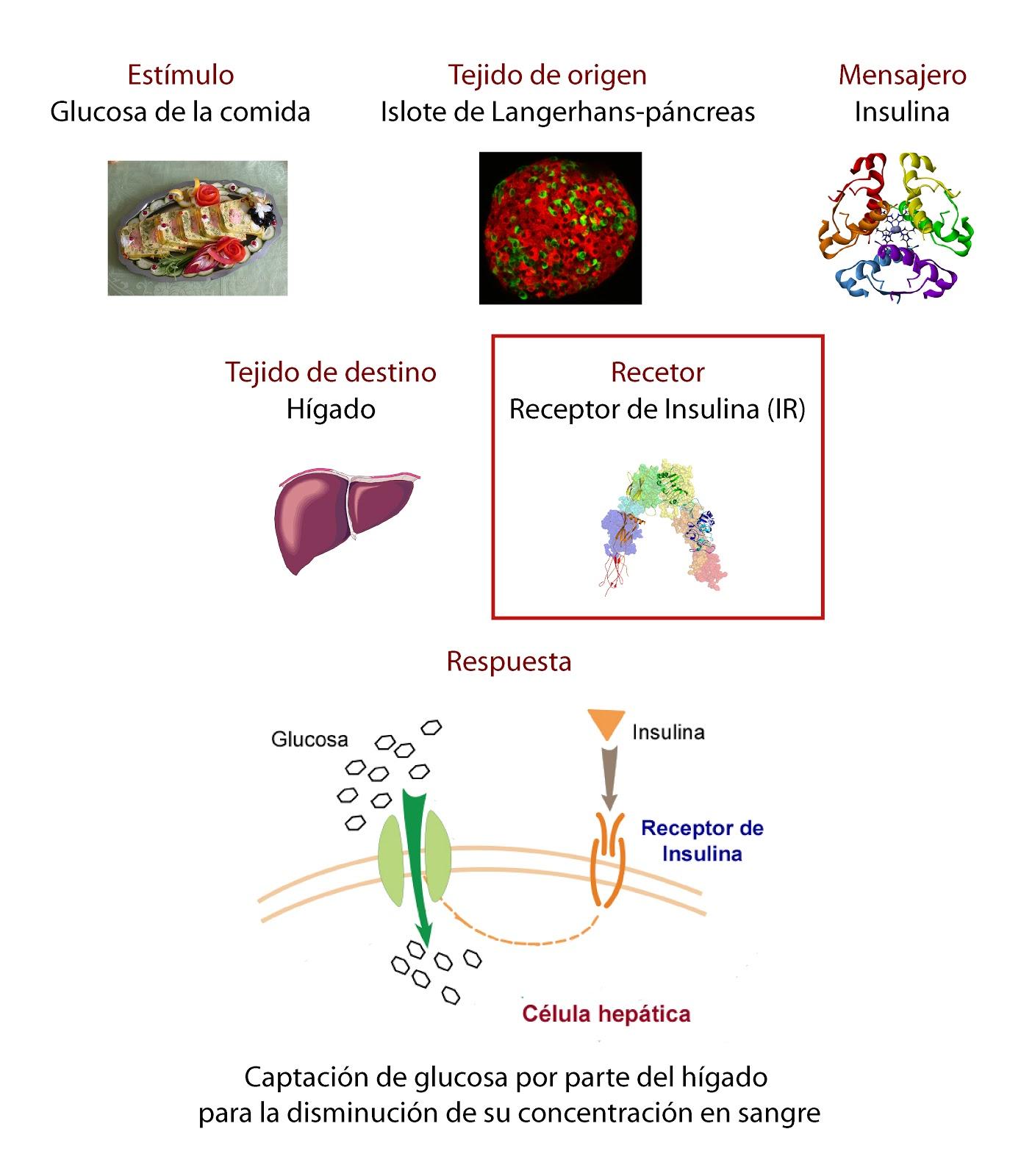 Tejidos, receptor y hormona implicada en la regulación de la glucemia