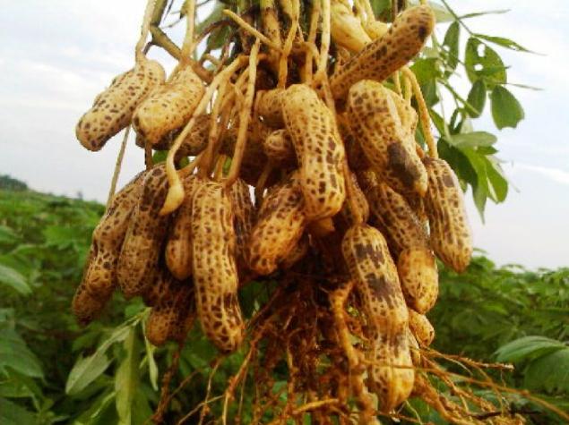 Cara Budidaya Kacang Tanah Di Lahan Pertanian