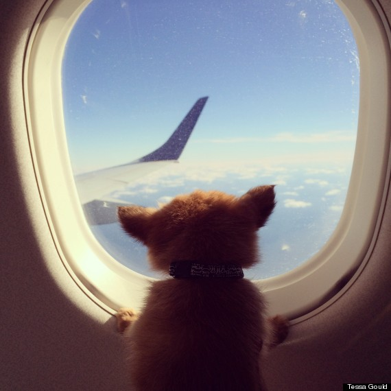 Miniature yorkshire terrier fly with an emotional support for Can service dogs fly in cabin