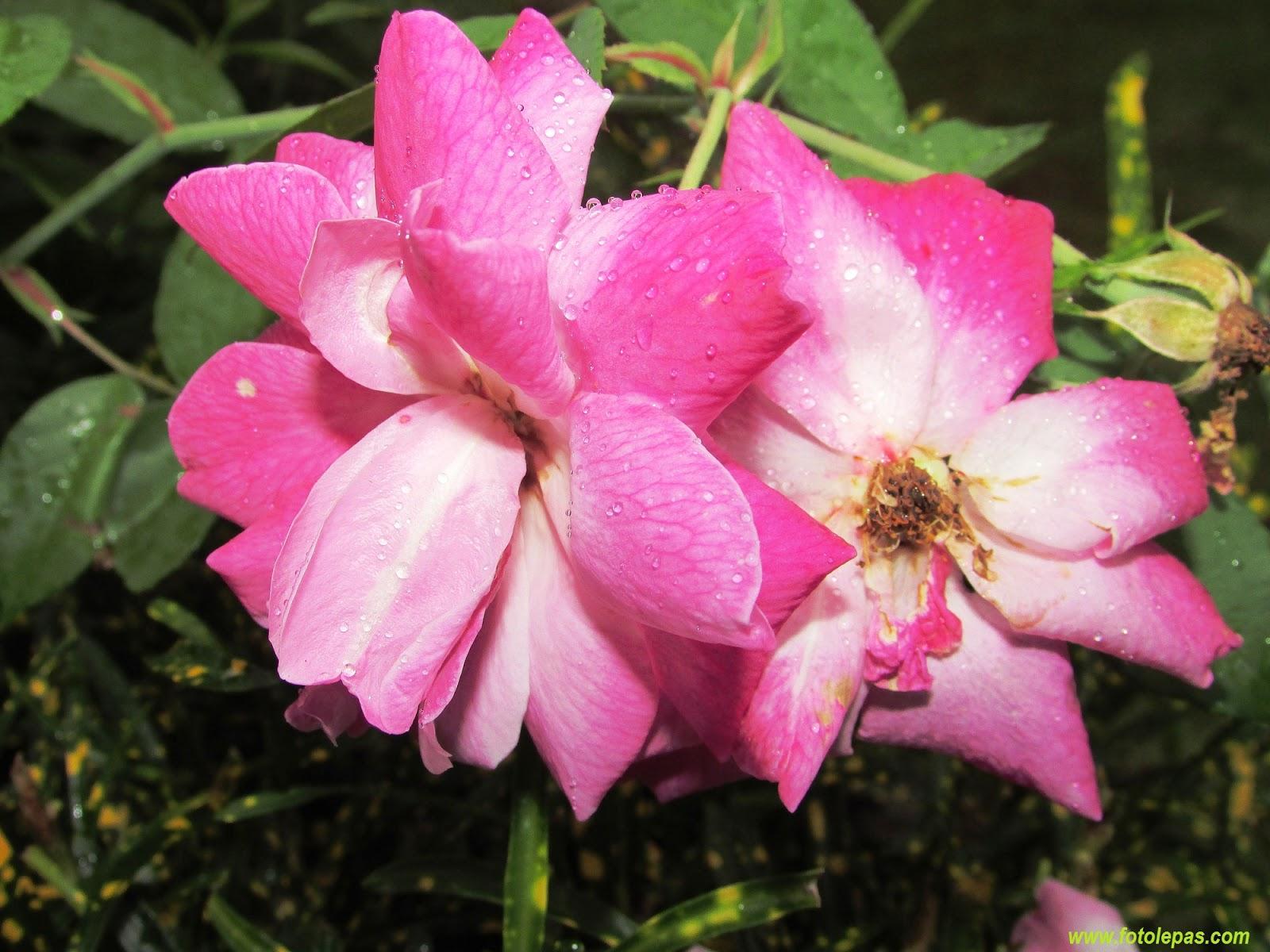 foto bunga mawar