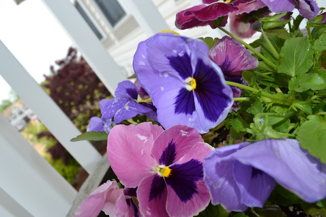 Pansies are perfect for spring