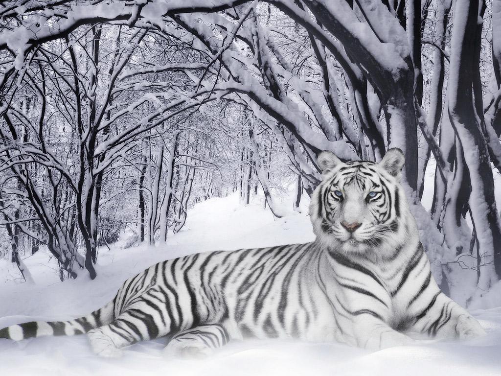 http://1.bp.blogspot.com/-BZG0wxnkOLY/TxV3_fCKl2I/AAAAAAAABzU/Gc0duWNDCAw/s1600/White-Tiger-Wallpaper.jpg