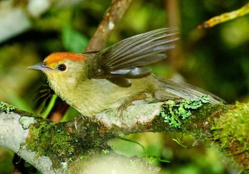 Rufous-capped Babbler (Stachyris ruficeps praecognita)