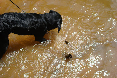 Picture of Rudy sniffing around in the water
