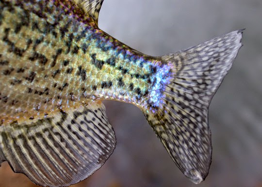 Spring panfish crappie tail shot
