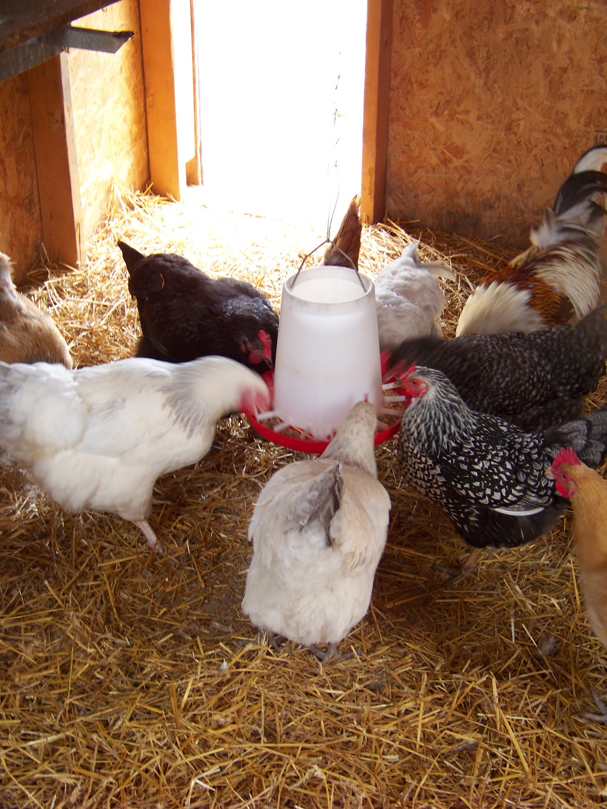 companion poultry community chickens