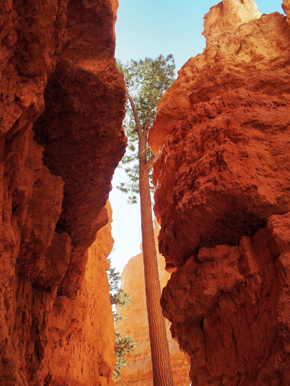 A Tree Grows on Wall Street I, #bryce #brycecanyon #wallstreet #navajolooptrail #navajoloop #utah 2014