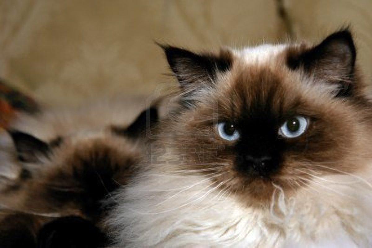 himalayan+cat+5.jpg
