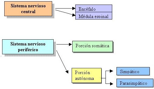 lleva la respuesta del sistema nervioso central hacia las glándulas y ...