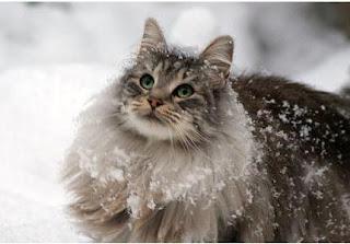 norwegian forest cat breed kitten gato picture pets