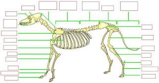 Imagen del esqueleto de un perro para poner nombres de sus partes