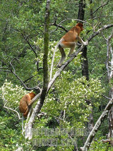 Proboscis monkey mating