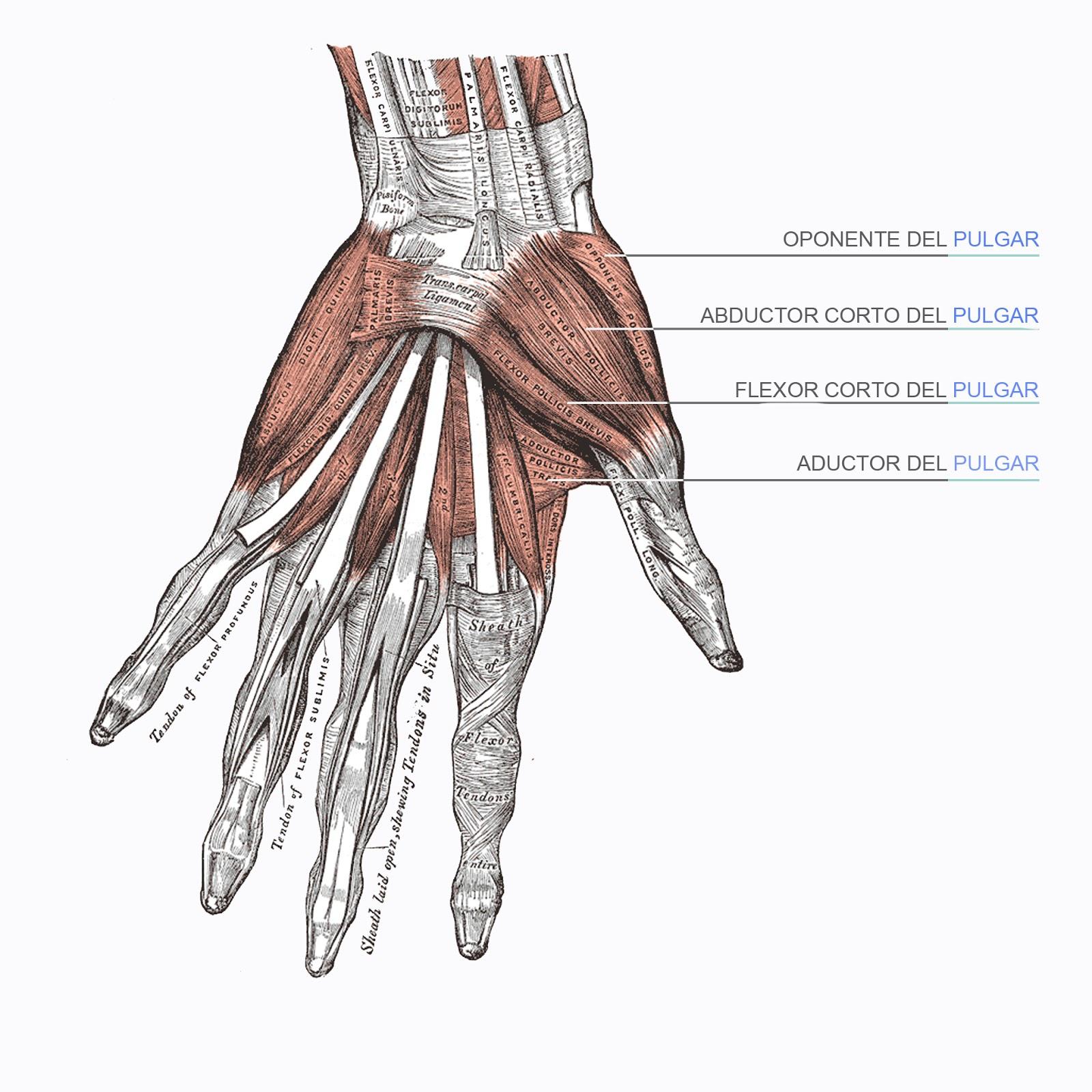 músculos dedo pulgar, dibujo