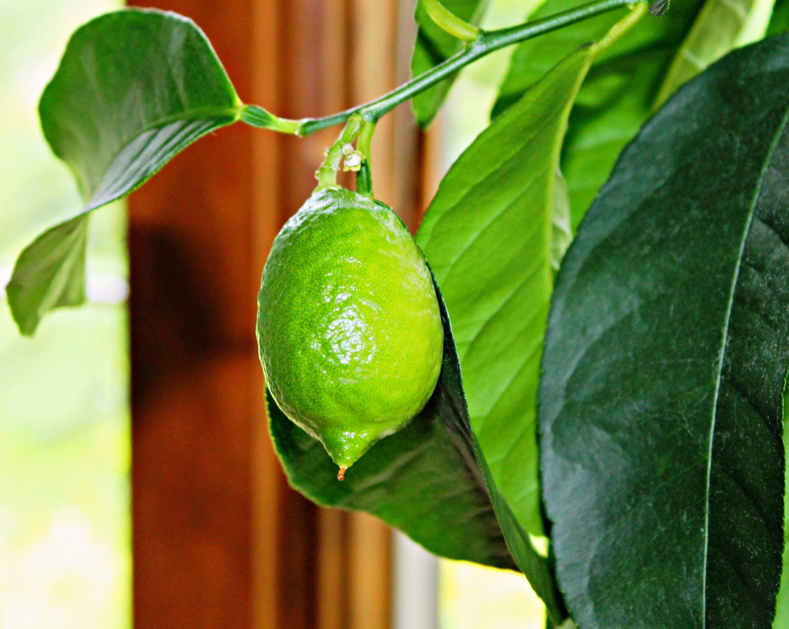 Indoor Fruit Plants This baby lime has been facing the sun