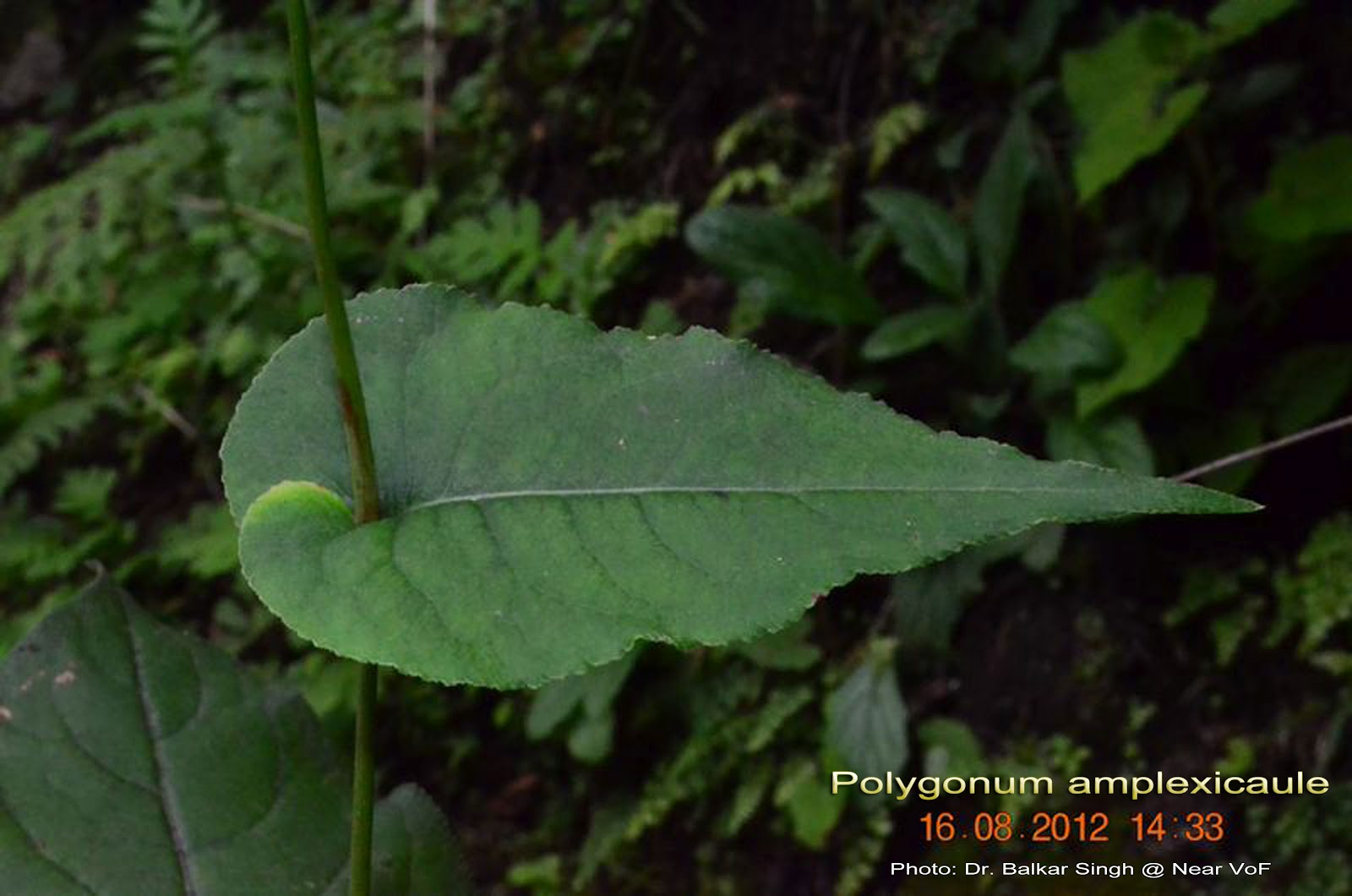 Kratom Gold Reserve Extract Dosage