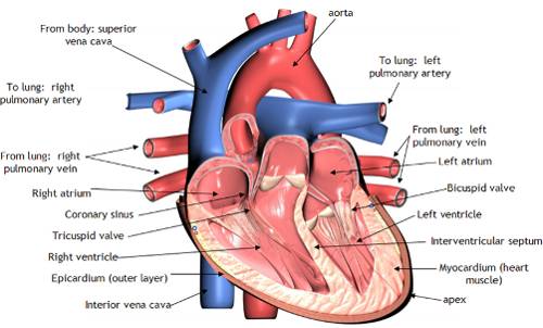 The Heart and Blood Vessels This article gives a brief overview of the heart and blood vessels and how they work.  What are the heart and blood vessels? The heart is a muscular pump that pushes blood through blood vessels around the body. Essential to life, the heart beats continuously, pumping the equivalent of more than 14,000 litres of blood every day.  Blood vessels form the living system of tubes that carry blood both to and from the heart. All cells in the body need oxygen and the vital nutrients found in blood. Without oxygen and these nutrients, the cells will die. The heart helps to provide oxygen and nutrients to the body's tissues and organs by ensuring a rich supply of blood. Not only do blood vessels carry oxygen and nutrients, but they also transport carbon dioxide and waste products away from our cells. Carbon dioxide is passed out of the body by the lungs, and most of the other waste products are disposed of by the kidneys.  Where are the heart and blood vessels found?    The heart is a fist sized organ which lies within the chest behind the sternum (breast bone). The heart sits on the diaphragm, the main muscle of breathing, which is found beneath the lungs. The heart is considered to have two 'sides' – the right side and the left side.   The heart has four chambers – an atria and ventricle on each side. The atria are both supplied by large blood vessels that bring blood to the heart (see below for more details). Atria have special valves that open into the ventricles. The ventricles also have valves but in this case they open into blood vessels. The walls of the heart chambers are made mainly of special heart muscle. The different sections of the heart have to contract (squeeze) in the correct order for the heart to pump blood efficiently with each heartbeat.  What do the heart and blood vessels do? The heart's main function is to pump blood around the body. Blood carries both nutrients and waste products, and is vital to life. One of the essential