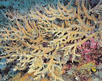 foto coral Acropora Acuminata