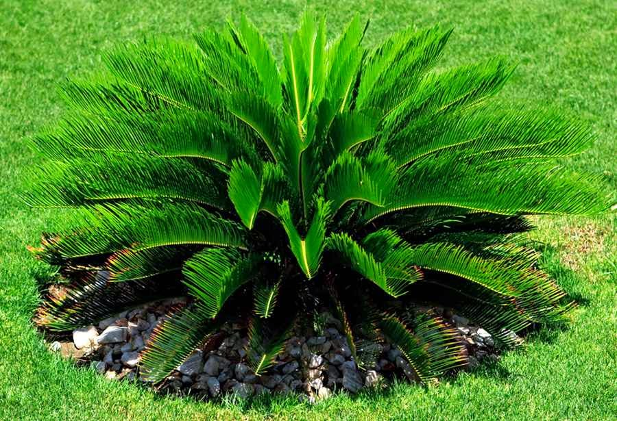 home and garden cycas palm. Black Bedroom Furniture Sets. Home Design Ideas