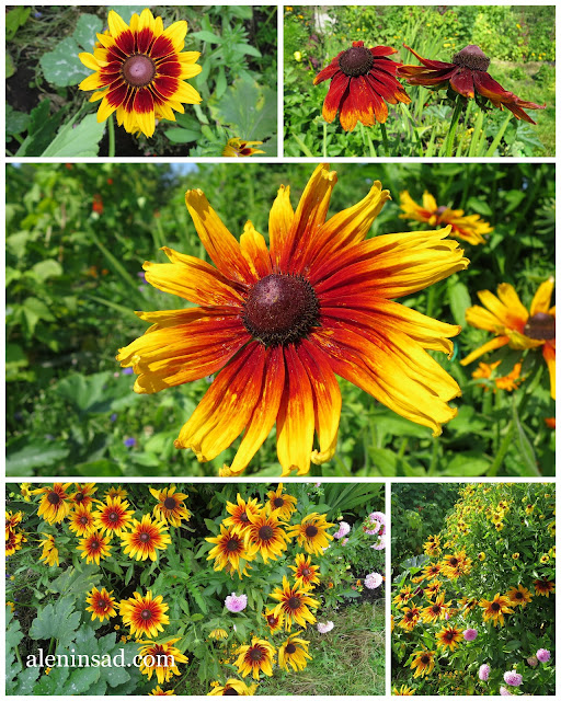 Rudbeckia hirta, рудбекия, глориоза дейзи, хирта, волосистая, цветы, цветение, выращивание, аленин сад, семена,