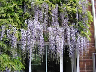 Exotic Wisteria Flowers