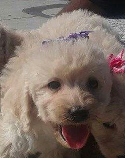F1b Mini Goldendoodle Puppies Available