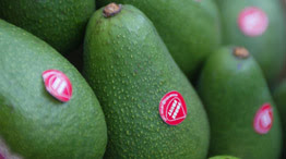 World's largest avocado photo, World's largest avocado picture, World's largest avocado image, World's largest avocado world record, Peruvian avocado Guinness World Record, largest avocado world record