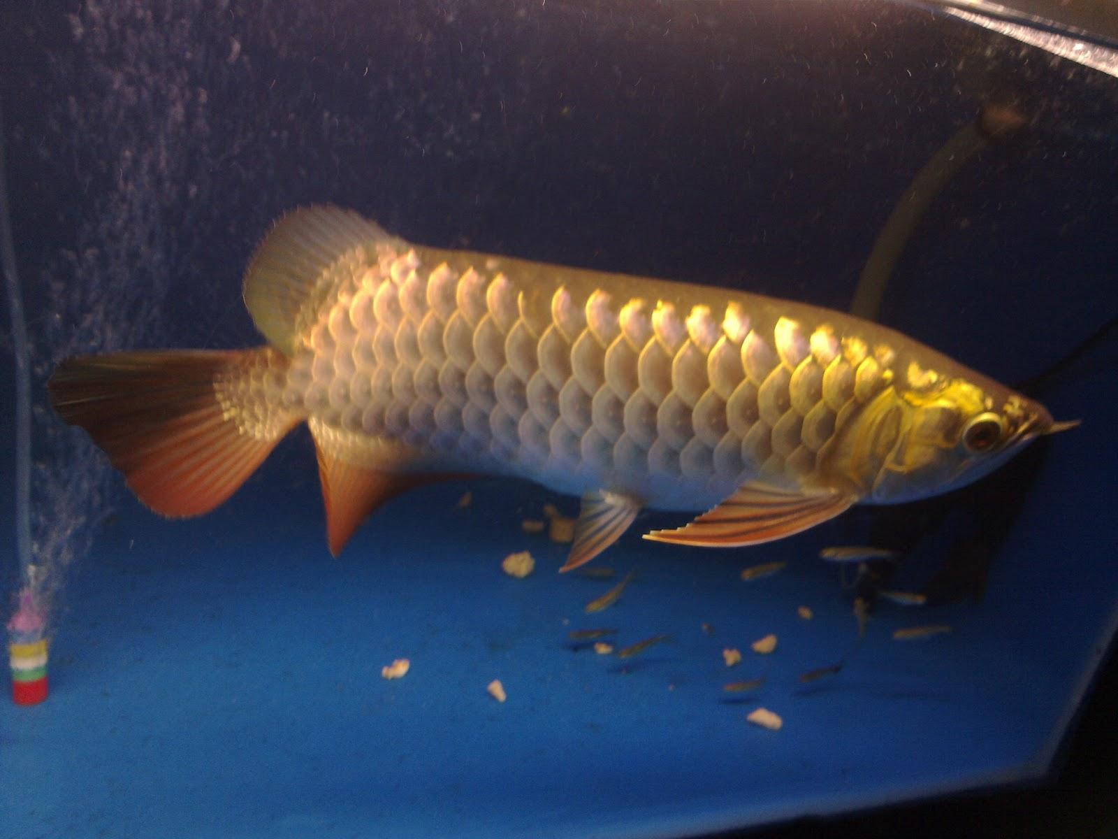Sk aquaculture sdn bhd rnr aquaculture sdn bhd arowana for Arowana fish for sale online