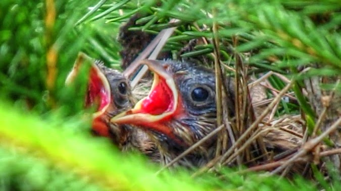 Baby Song Sparrows in Nest