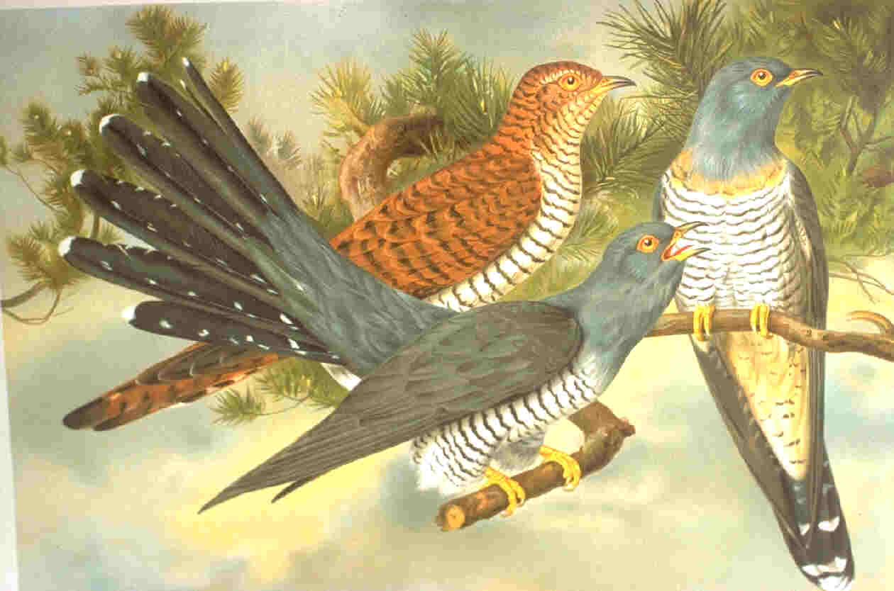 Three cuckoos perched on a branch