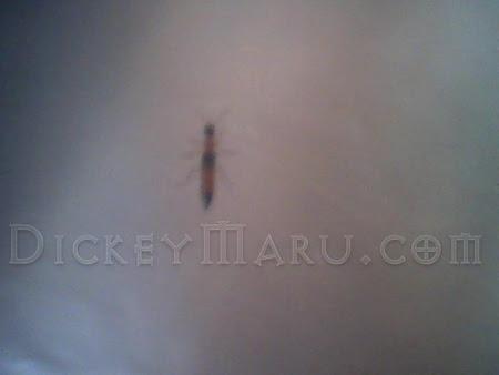 Tomcat Serangga