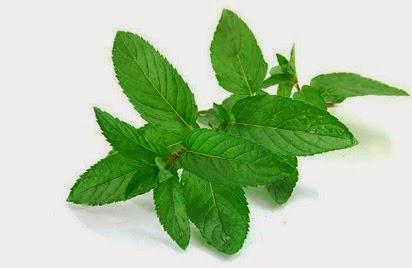 manfaat daun kemangi untuk kecantikan,daun kemangi untuk pria,kemangi untuk wanita,kemangi untuk ed,untuk jerawat,untuk kesuburan wanita,untuk ibu hamil,untuk ibu hamil,