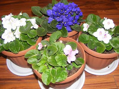 violete de parma, violeta de parma, violete africane, flori de apartament, flori decorative, cum se ingrijesc si inmultesc violetele de parma,  violete de parma albe, violete de parma mov si mov inchis, violete de parma roz si albastru, violete de parma grena, violete, ingrijirea florilor, plantarea florilor in ghivece, flori, floare,