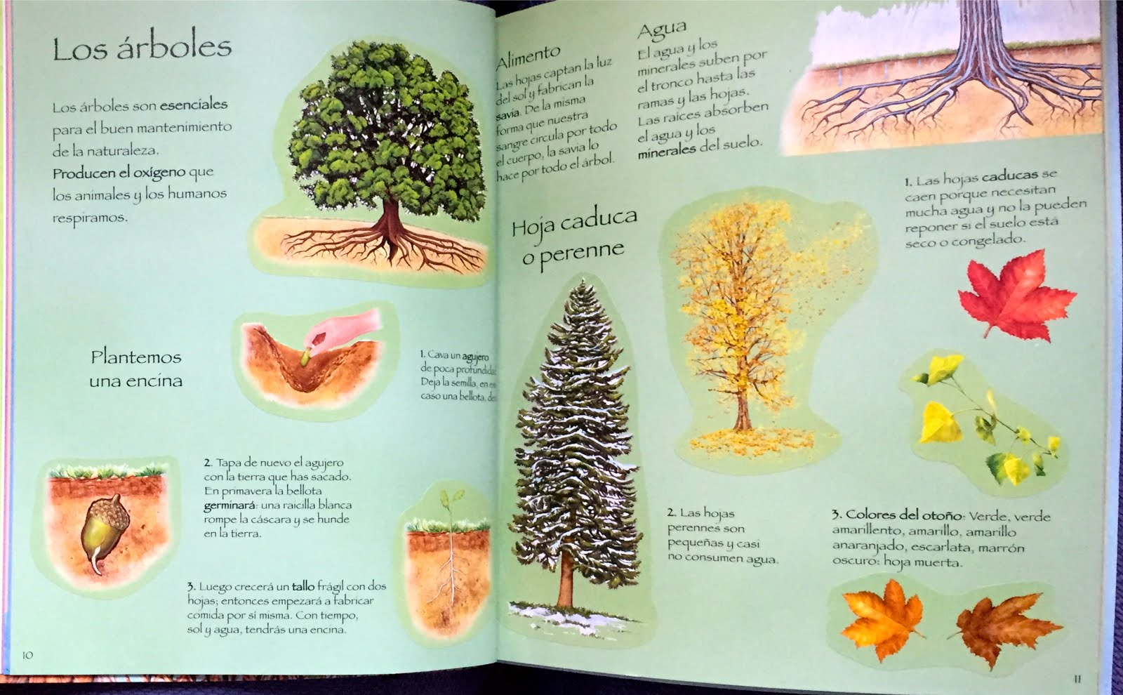 Elmer y compa a los rboles sus hojas iv for Nombres de los arboles de hoja perenne