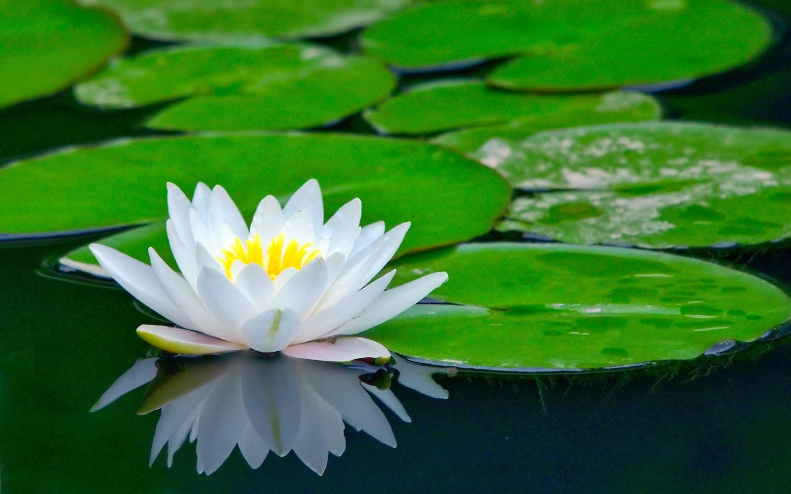 Flores de Loto y Lirios de Agua