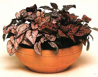 Гипоэстес листоколосковый, кроваво-красный