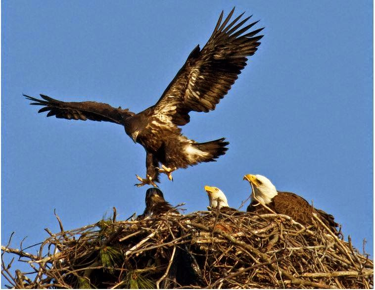 Eagle teaching eaglets to fly