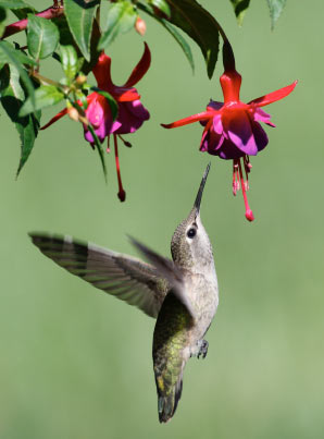 All Things Wildly Considered The Miraculous Hummingbird