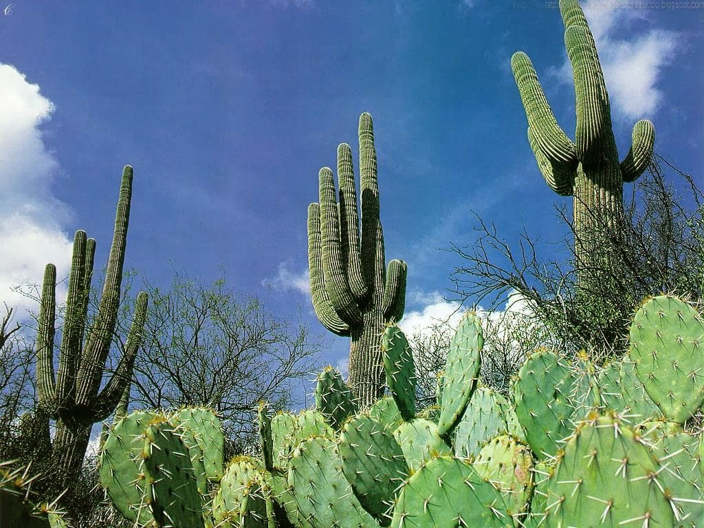 hd cactus wallpapers - photo #32