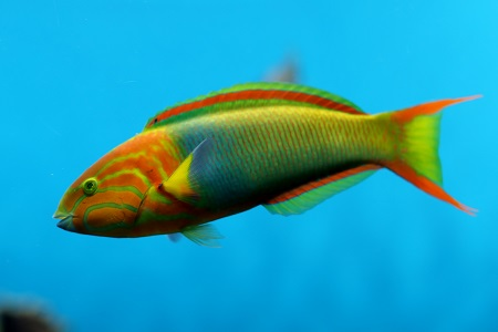 Yellow-brown wrasse (terminal phase)