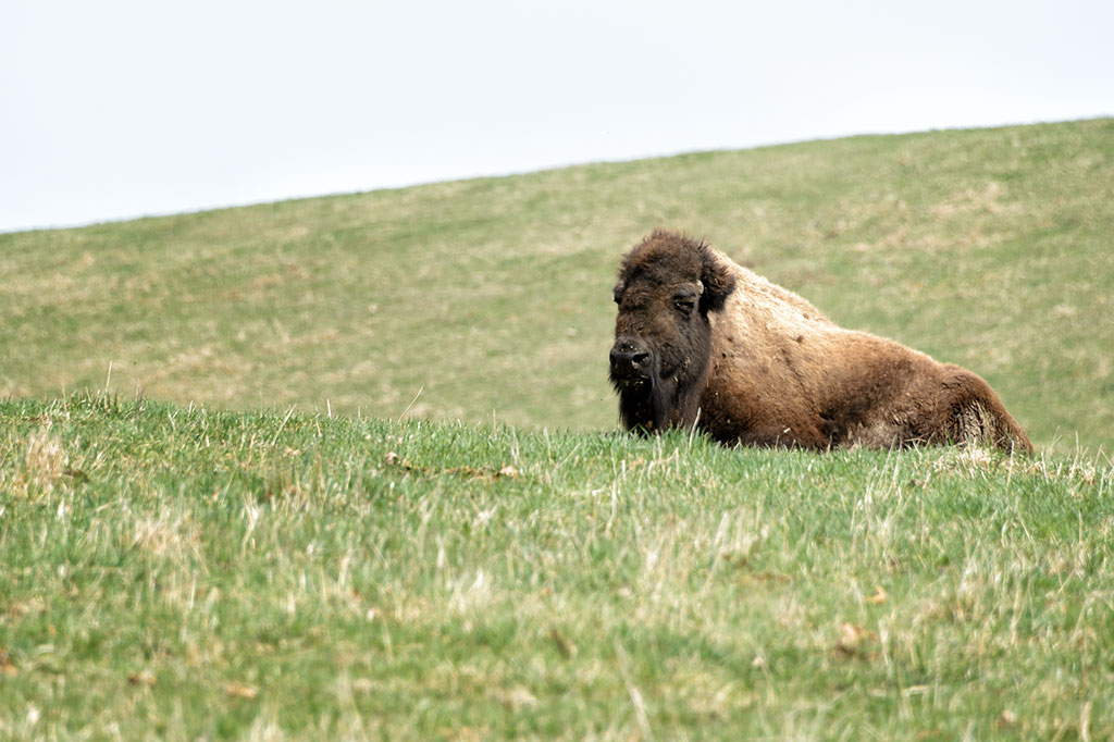 A bison near the Lincoln Highway