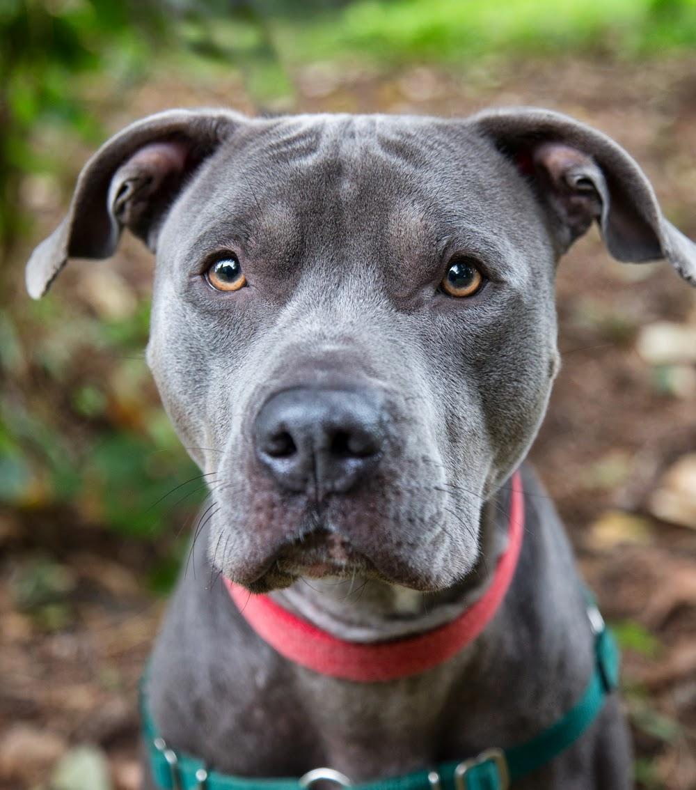 Most Inspiring Pitbull Chubby Adorable Dog - 549541c  Graphic_331965  .jpg